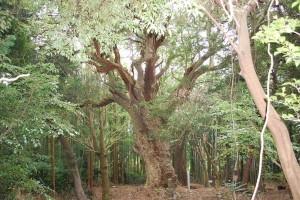 大樹:コガノキ