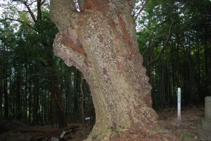 コガノキ:樹皮が解かり難いのですが 《鹿の子の肌模様》 に似ています