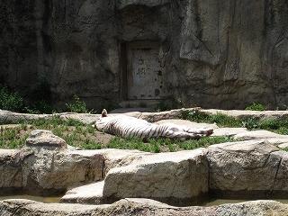 ホワイトタイガーさんも お昼寝。