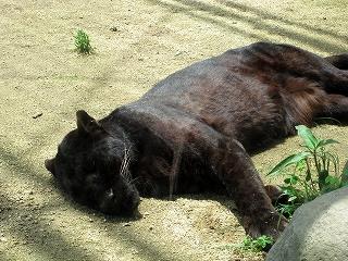 寝てます。。。黒ヒョウです。
