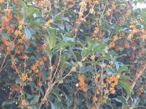 秋祭り:キンモクセイ