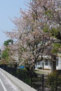 新築現場の桜木