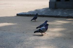 神社境内の鳩
