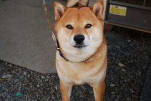 新築現場の飼い犬のごまちゃん