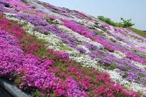 西条市禎瑞の芝桜