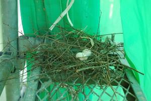 鳩の巣とつがい