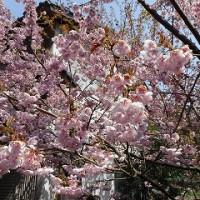 山麓の梅の花満開