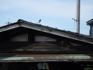 セキレイ鳥の子育て
