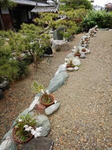 和風庭園:セッコク蘭