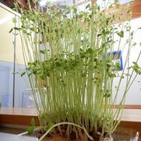 豆苗の栽培