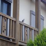 鳩の巣つくり