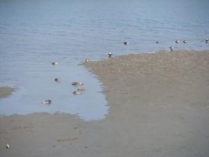 鴨の日向ぼっこ