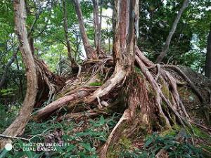 森林の巨木